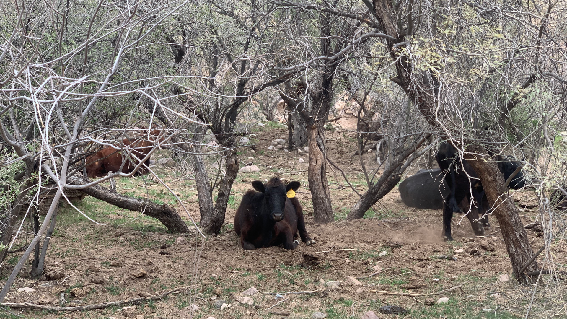 cattle in White Canyon